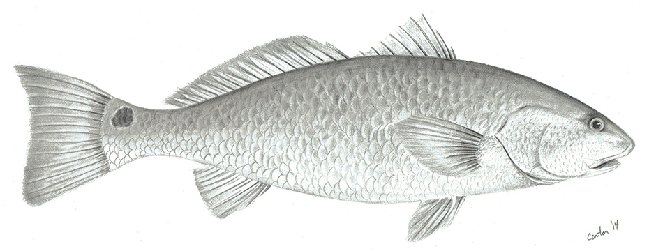 <div class='title'>           patrick-carter-pencil-art-red-fish-u4p9cs         </div>