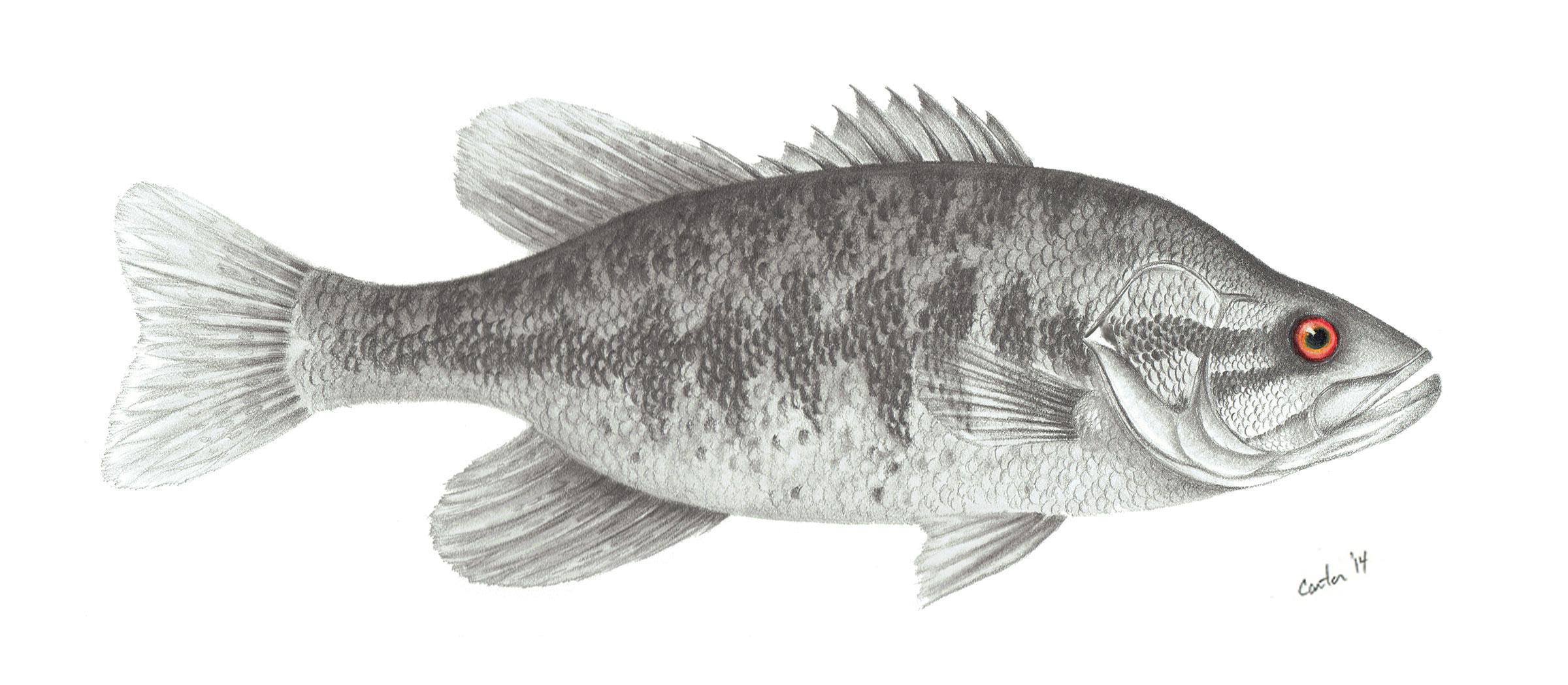 <div class='title'>           patrick-carter-pencil-art-shoal-bass-vfmpjy         </div>