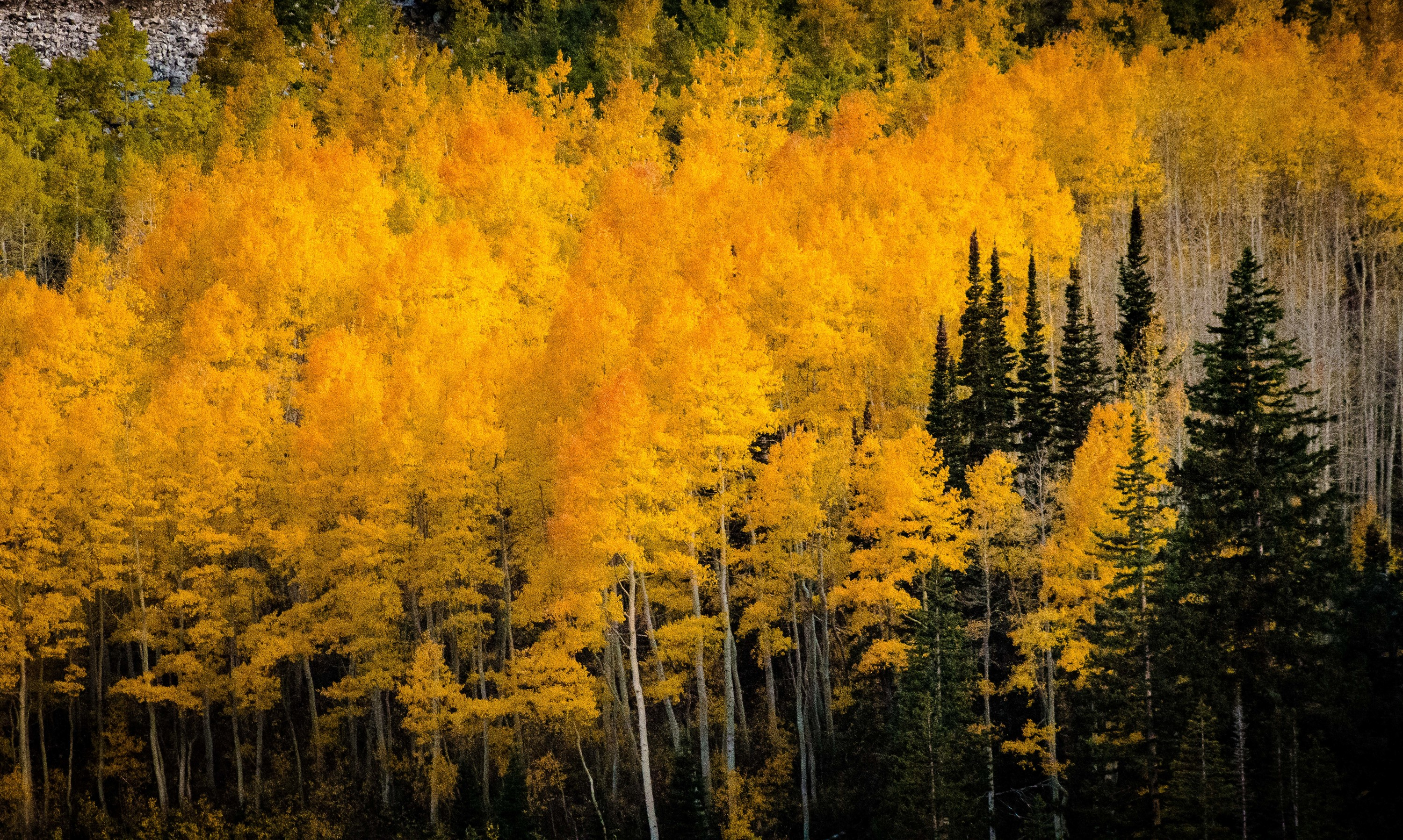 <div class='title'>           Brighton Aspens         </div>                 <div class='description'>           Details on Aspen trees in the late afternoon light at Brighton resort, Utah. October, 2016.         </div>