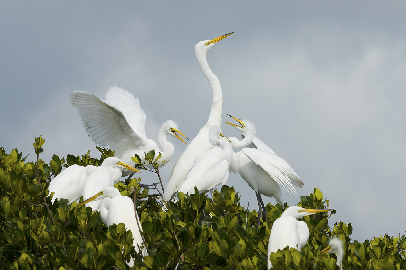 <div class='title'>           Nesting Great White Egrets         </div>                 <div class='description'>           From a boat, you will have access to various locations where birds can be photographed         </div>