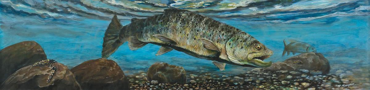 Brown trout lores u2gmgx