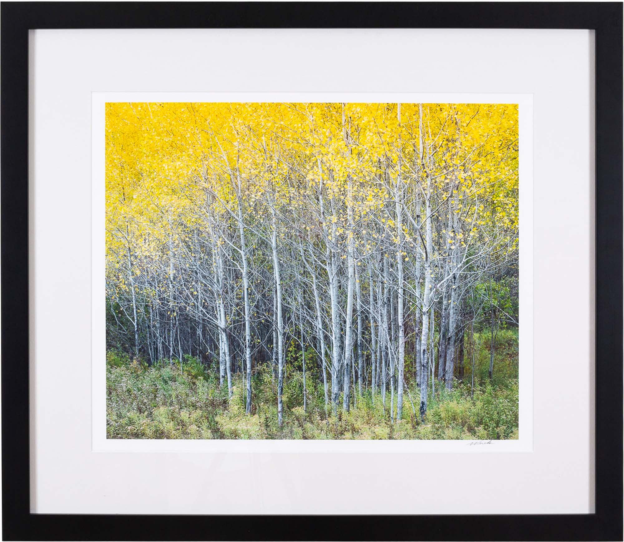 golden birch 0358 opcxxa