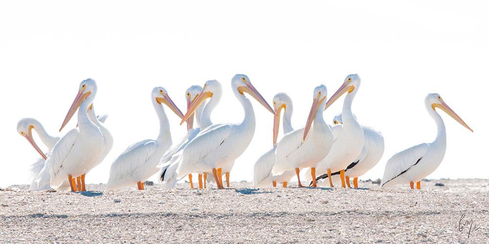 <div class='title'>                    </div>                 <div class='description'>           Photograph the American white pelican         </div>