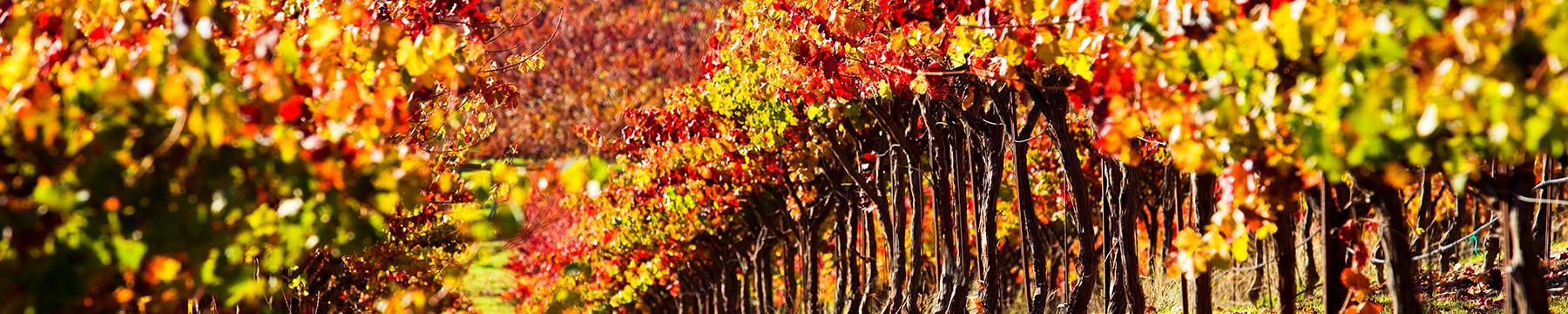 <div class='title'>           harvest vineyard         </div>