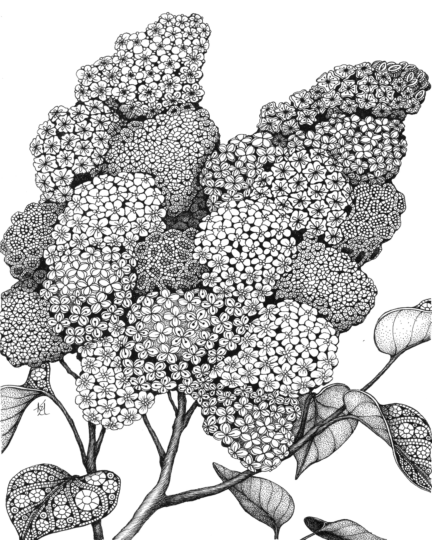 Lilacs pnmvgh