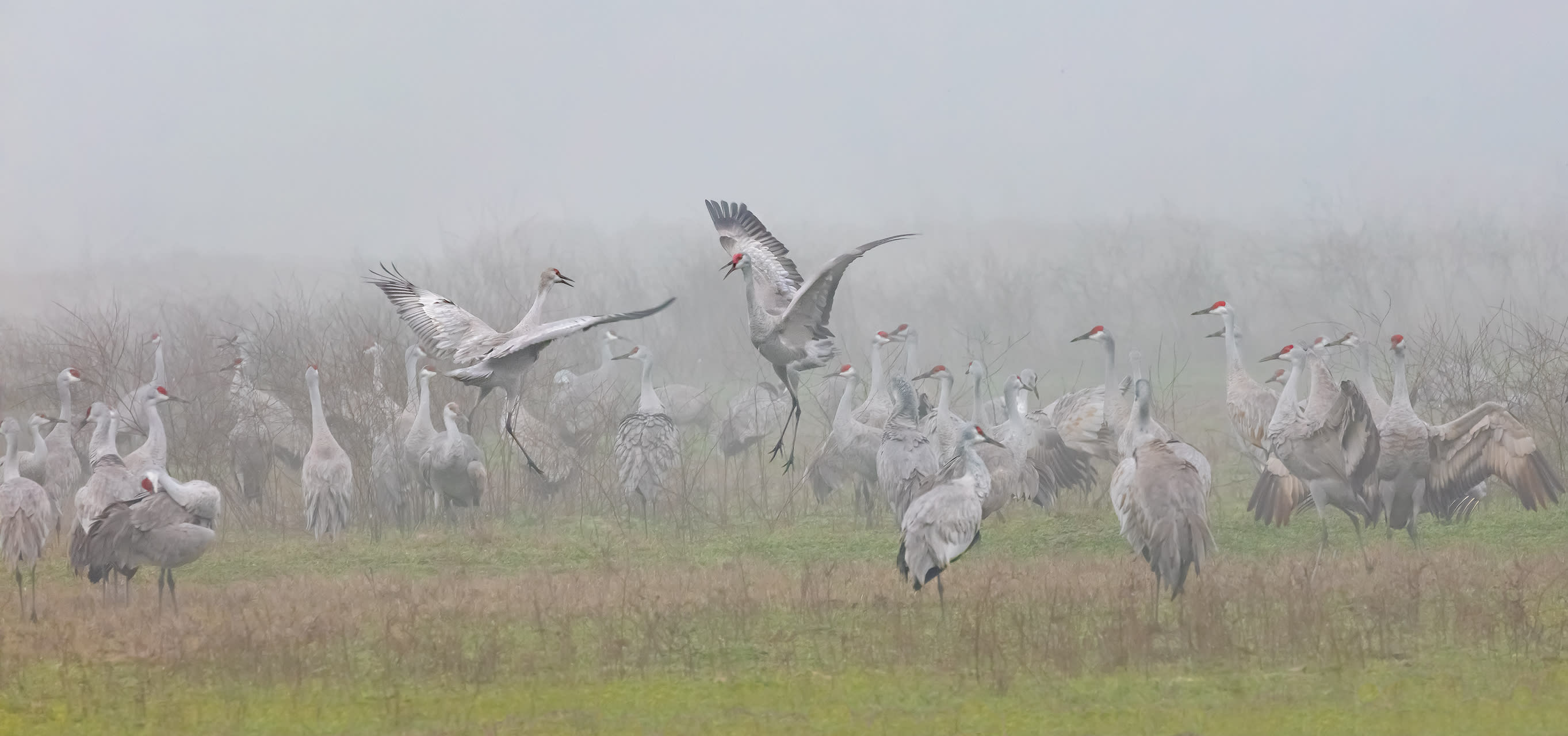 Sandhill crane pastoral3 ibkaku