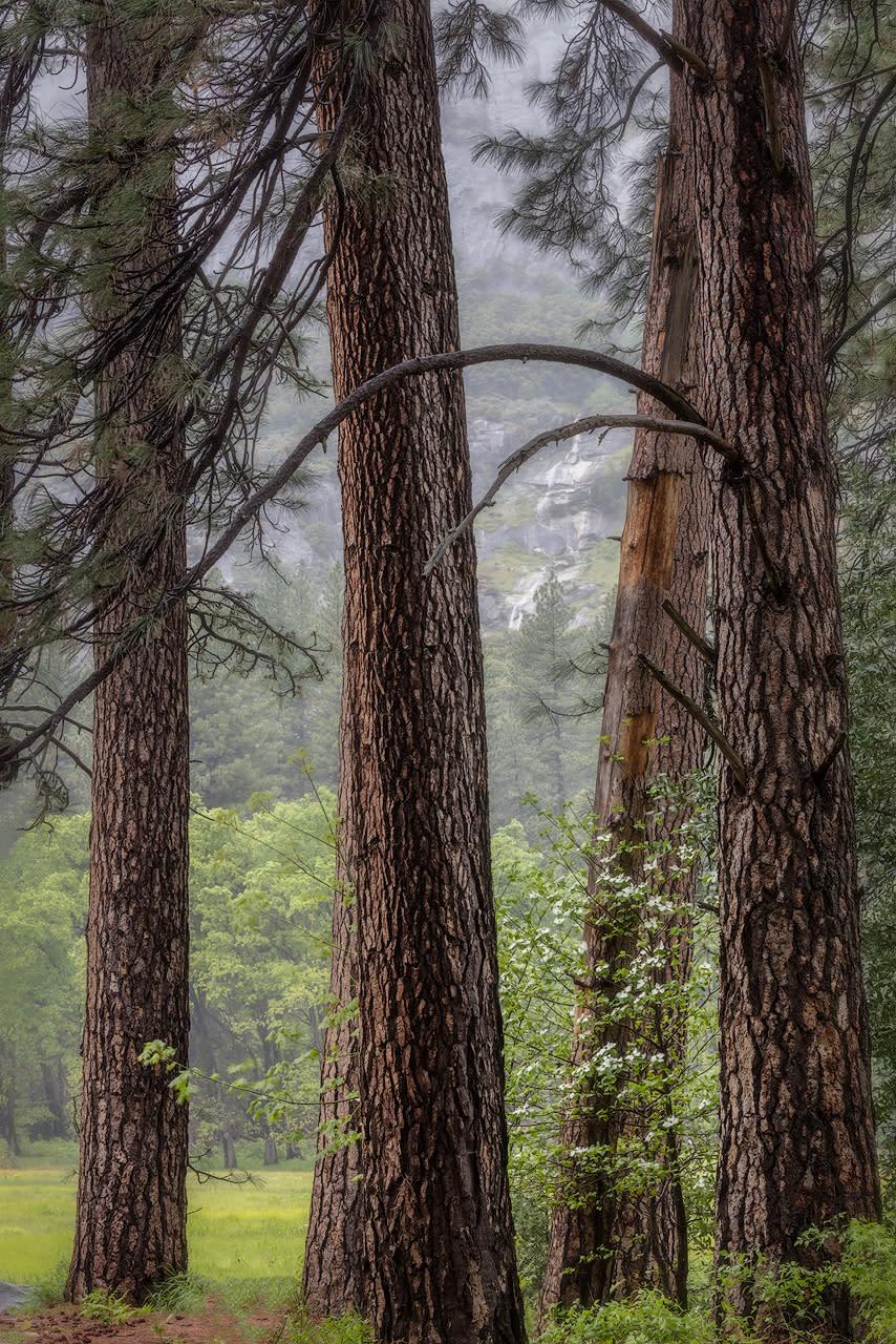 Ponderosa pines and dogwood eamdd3