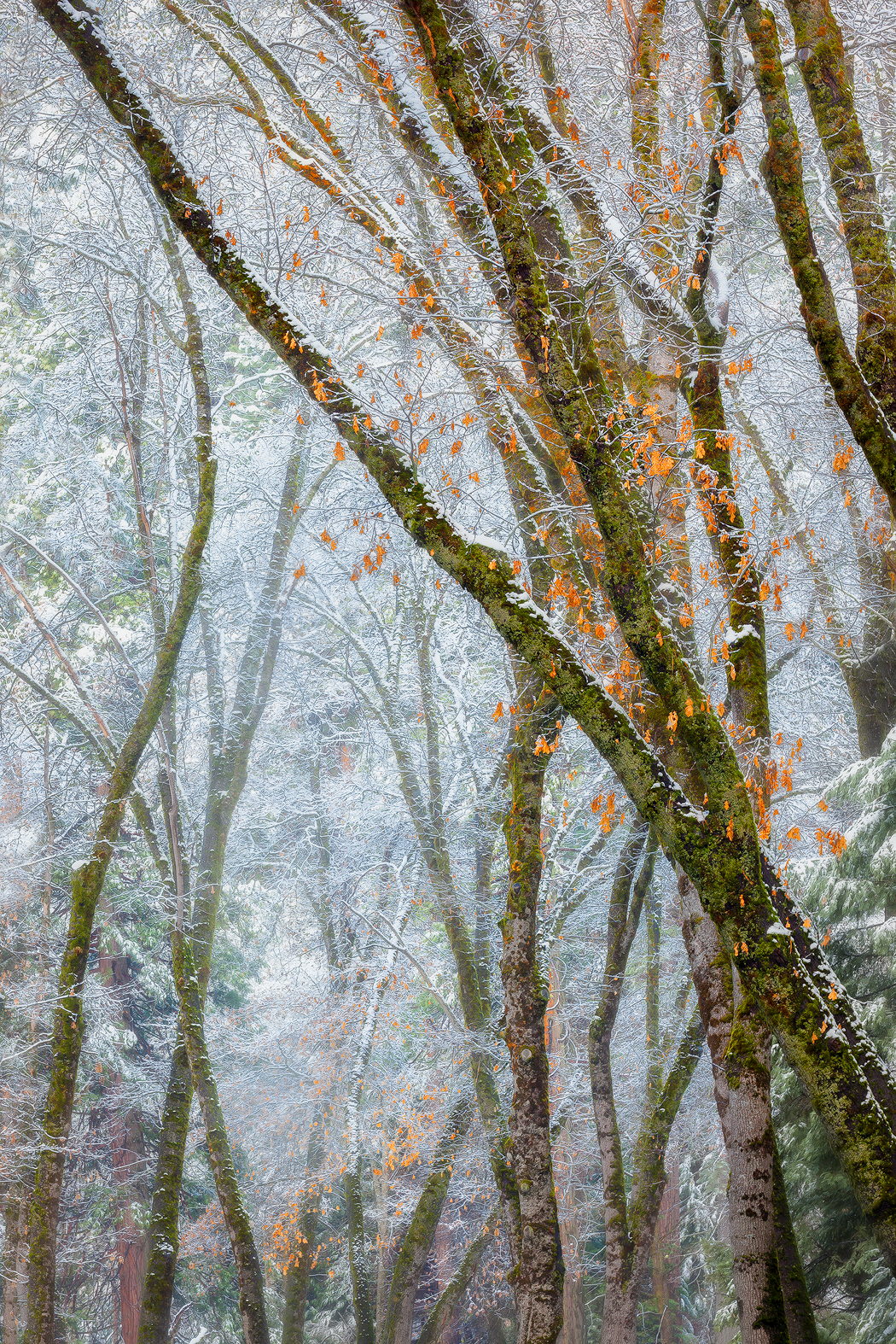 Black oaks and snowy mist qvlvy1