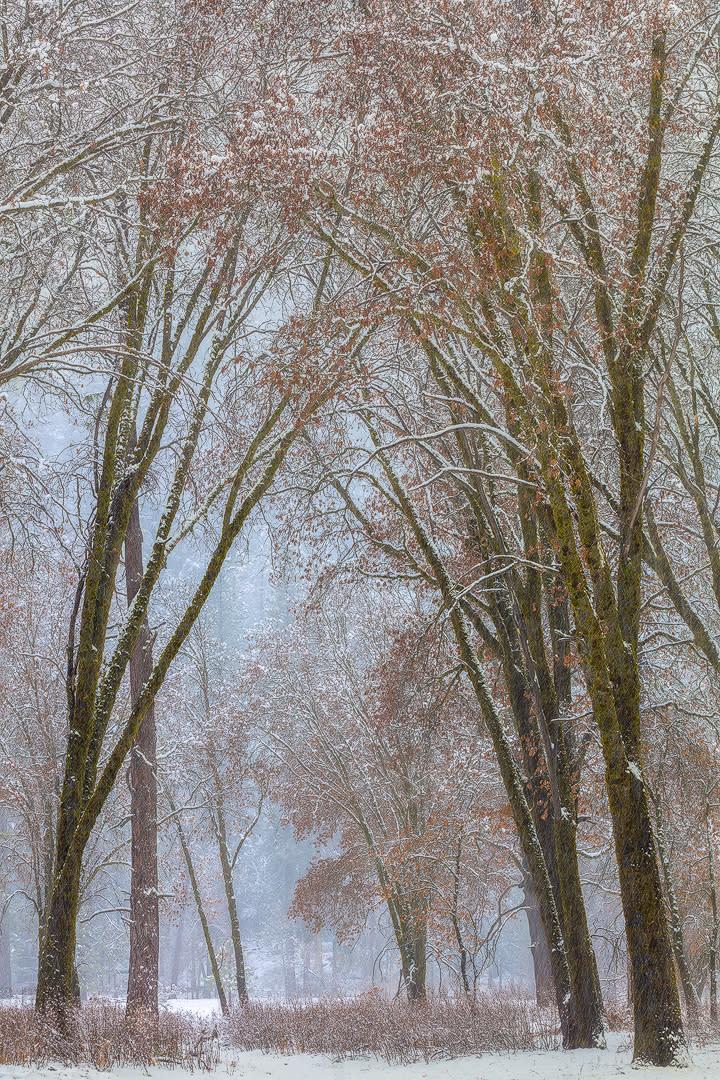 Black oaks in snow storm3 vslfhk