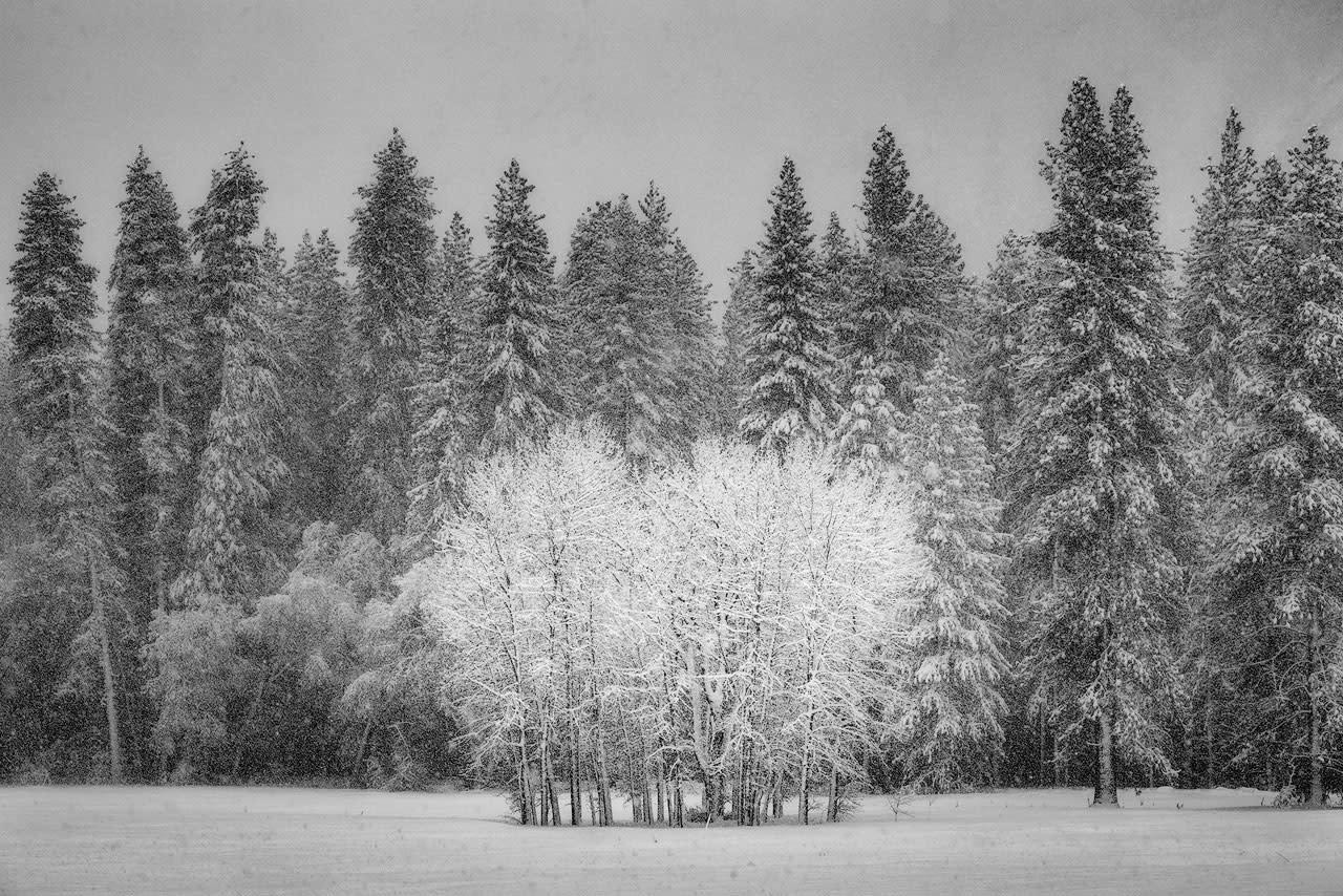 Cottonwoods in snowstorm gqbc9p