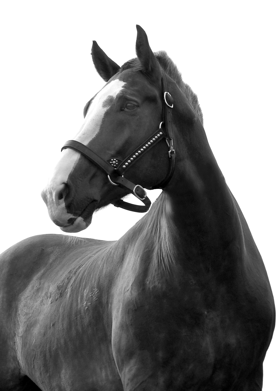 Draft horse ssplyj
