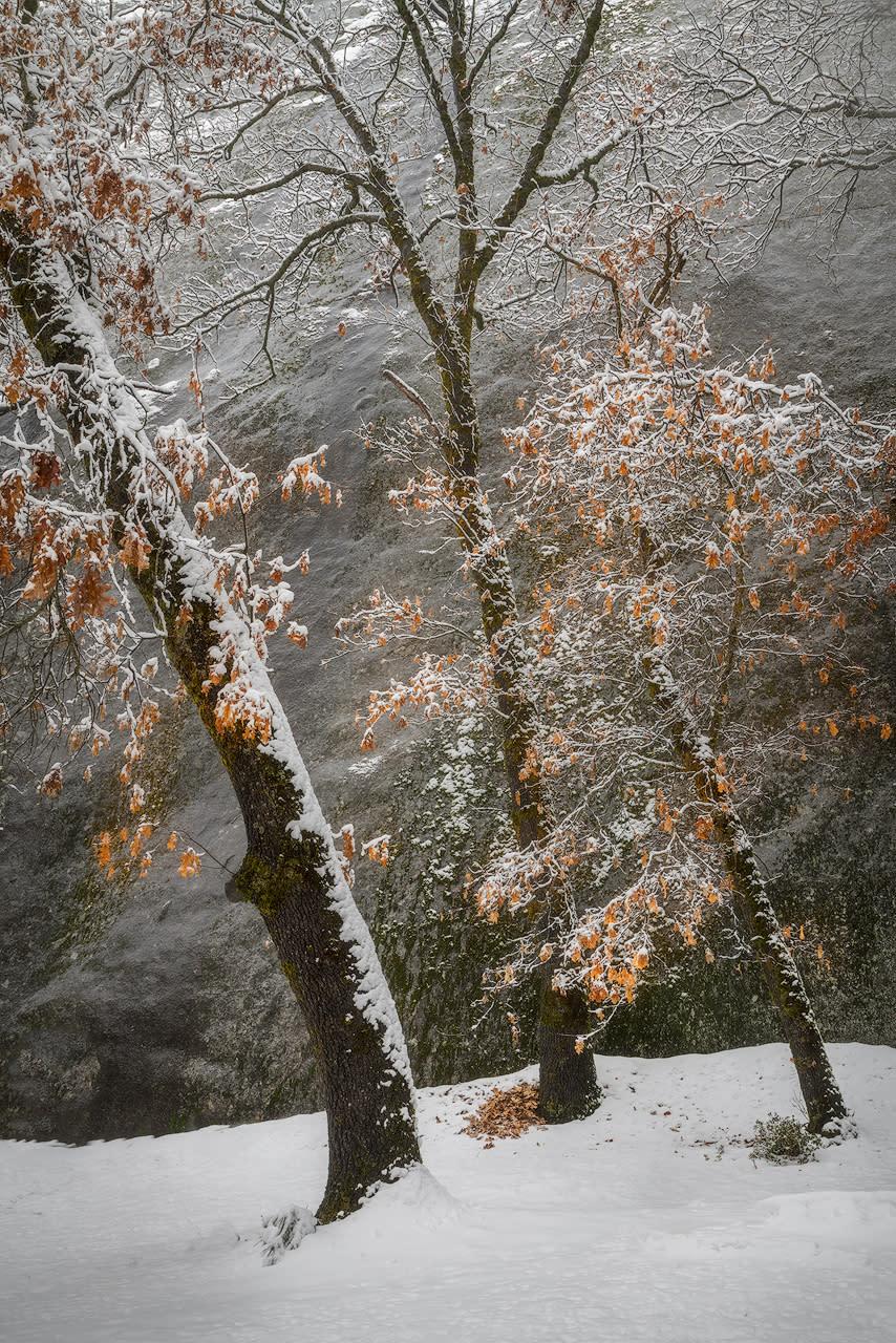 Black oaks in winter snowstorm c8p8t7