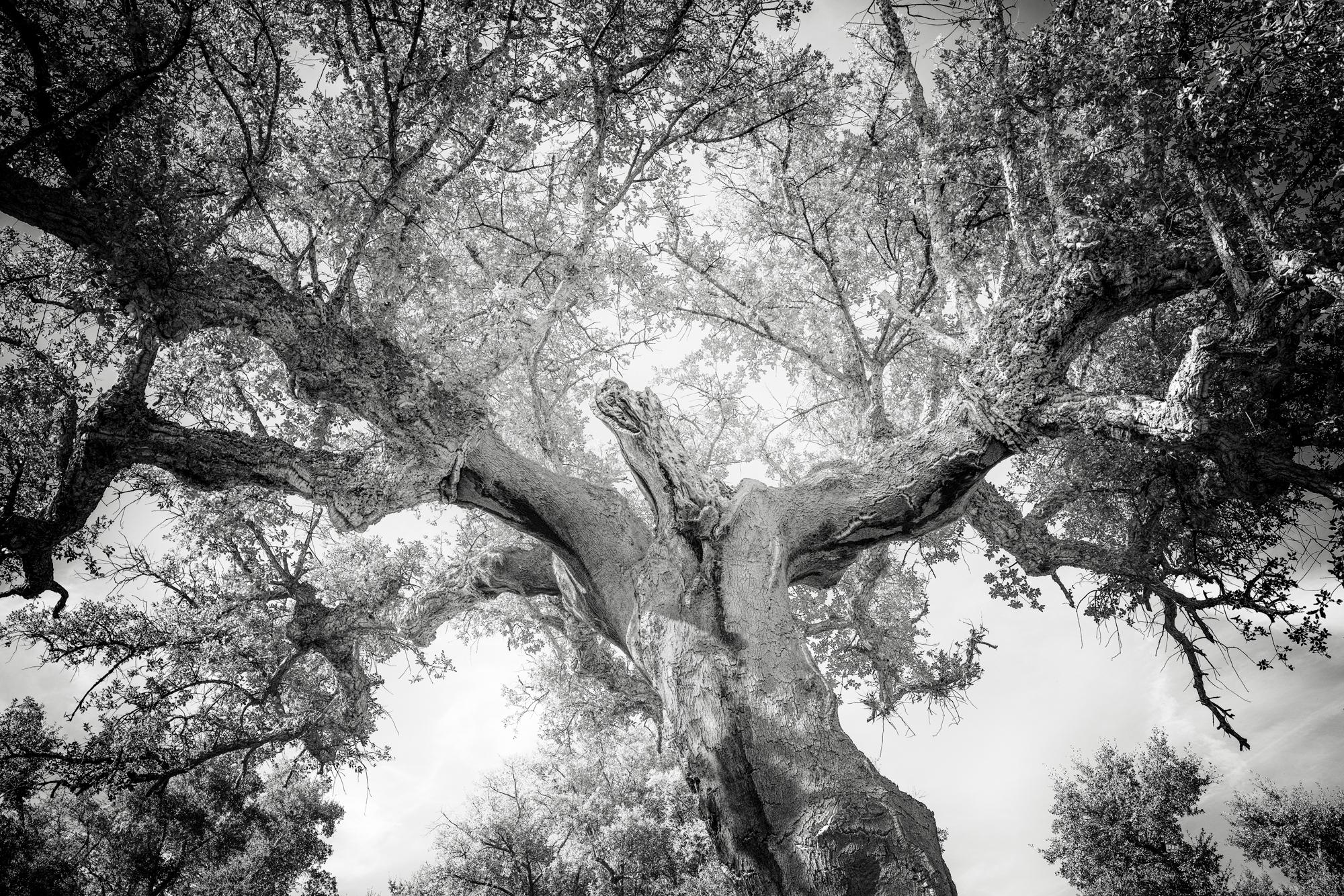 Tree 151a dancing cork oak 1 oyfa2b