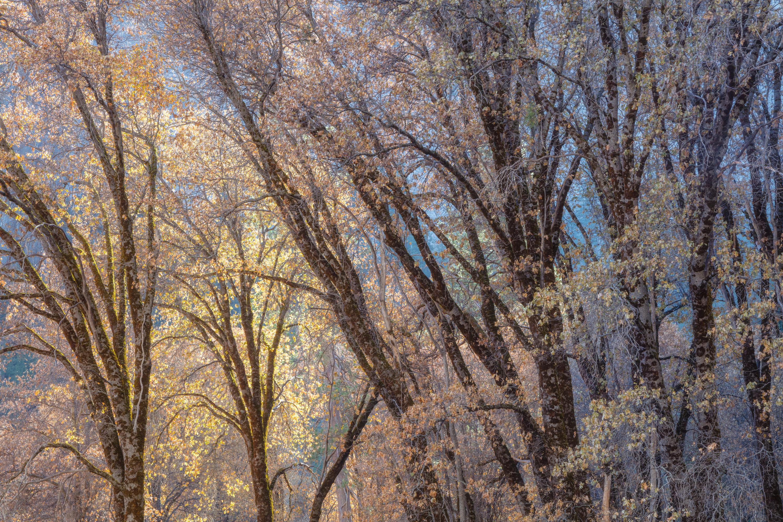 Black oak tapestry r20zer