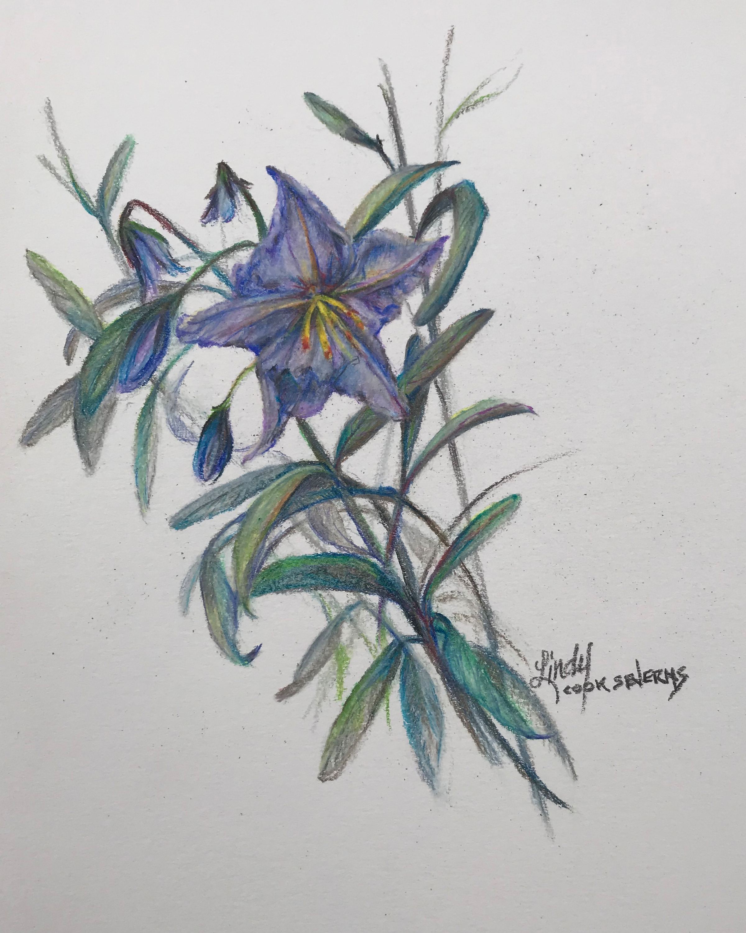 7c18 silver leaf nightshade 10x8 colored pencil lindy cook severns hnozcv