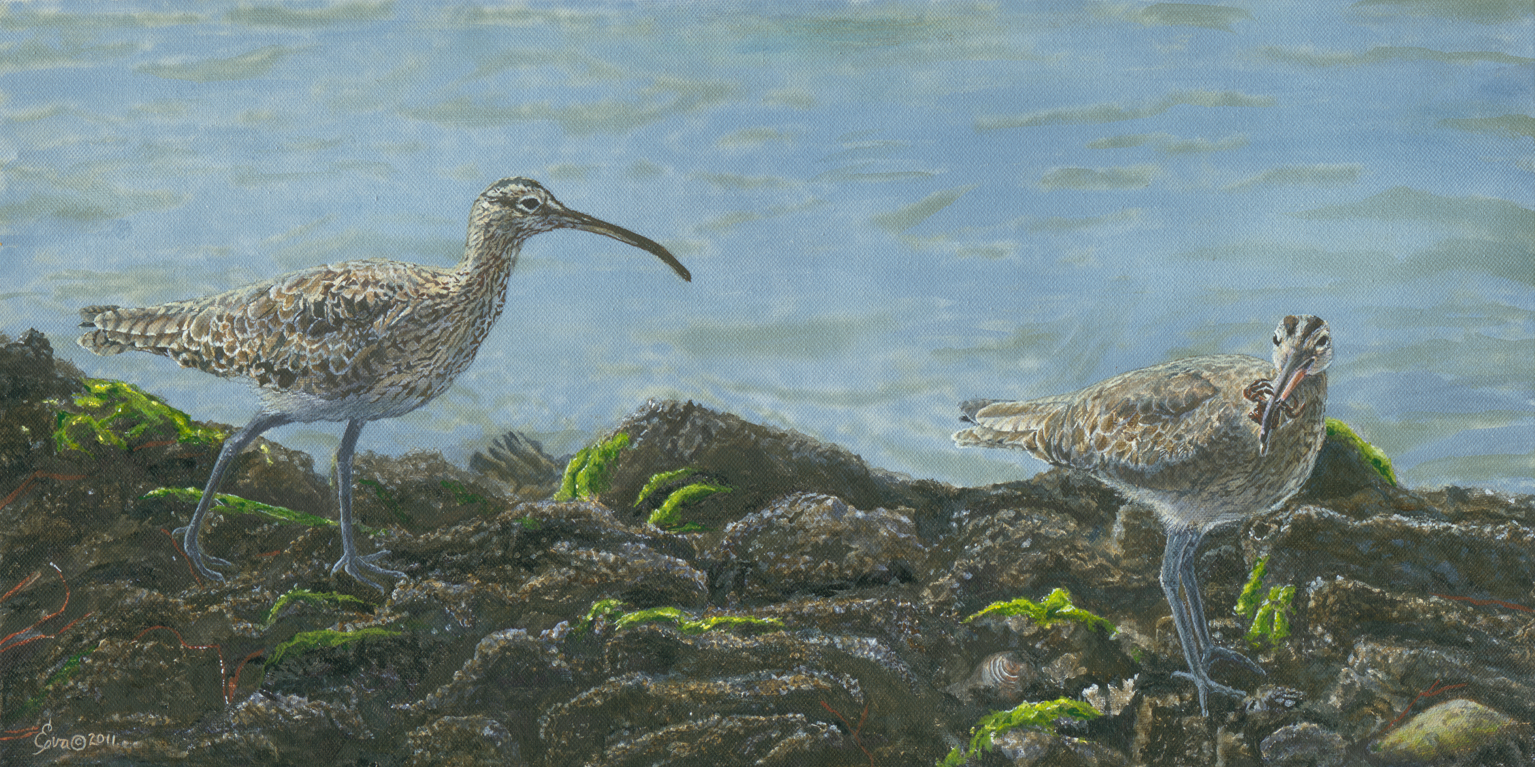 Whimbrels new q6r5eu