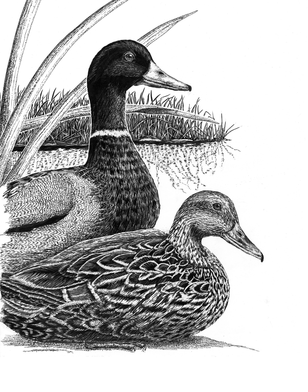 Ducks rsahik