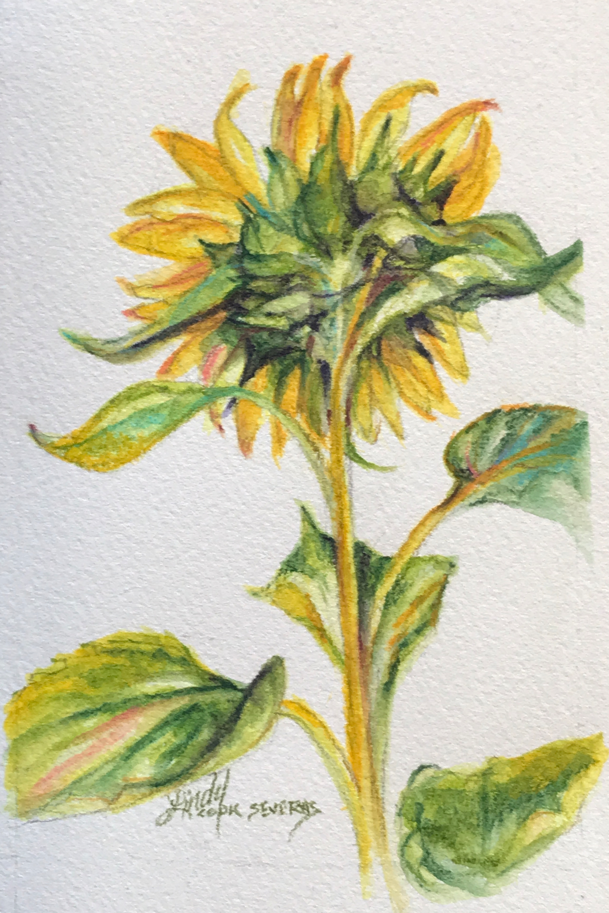 Shy sunflower 6x4 watercolor lindy c severns kt5czm
