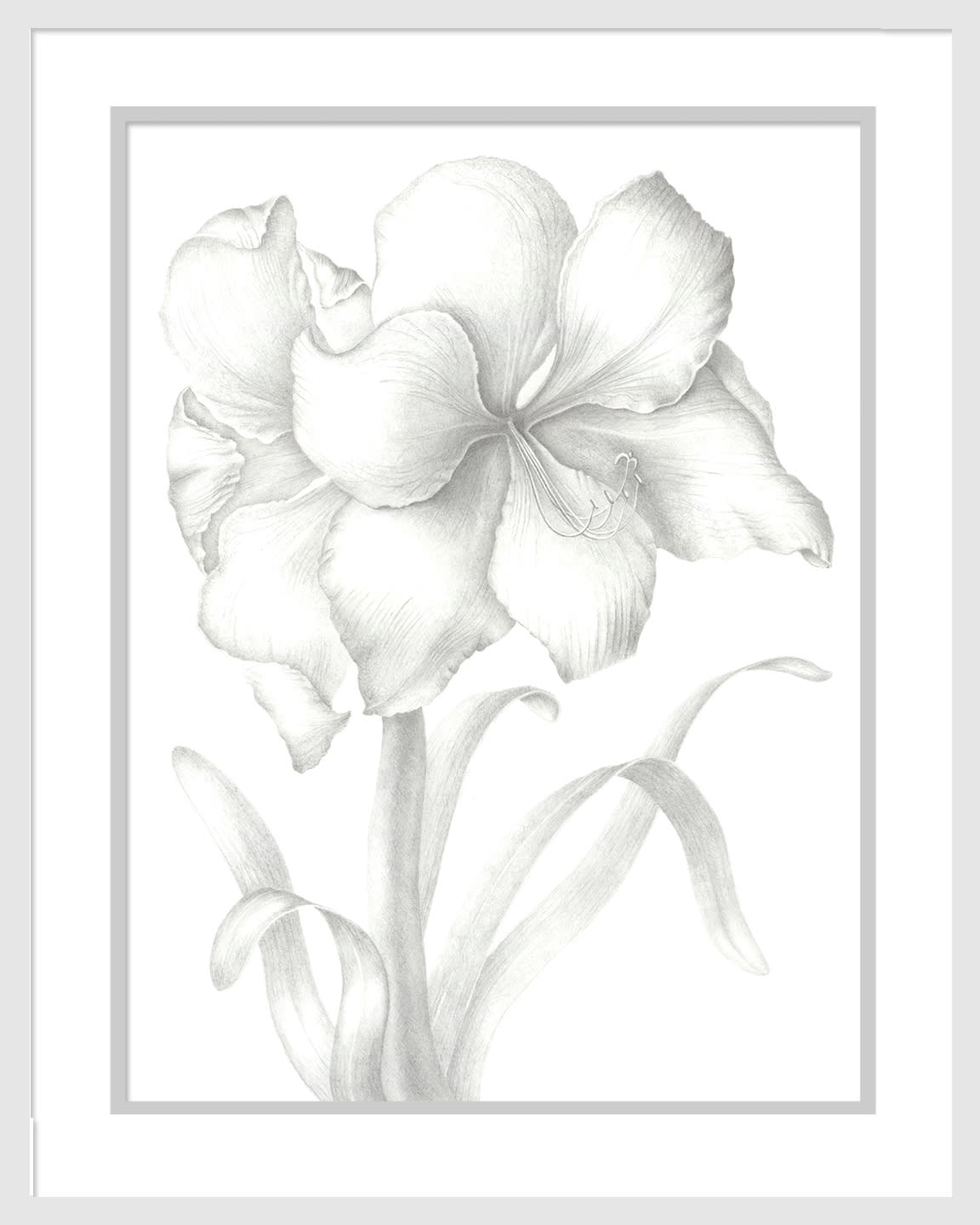 040401 hippeastrum 12x16 matted to 16x20 gn8apt