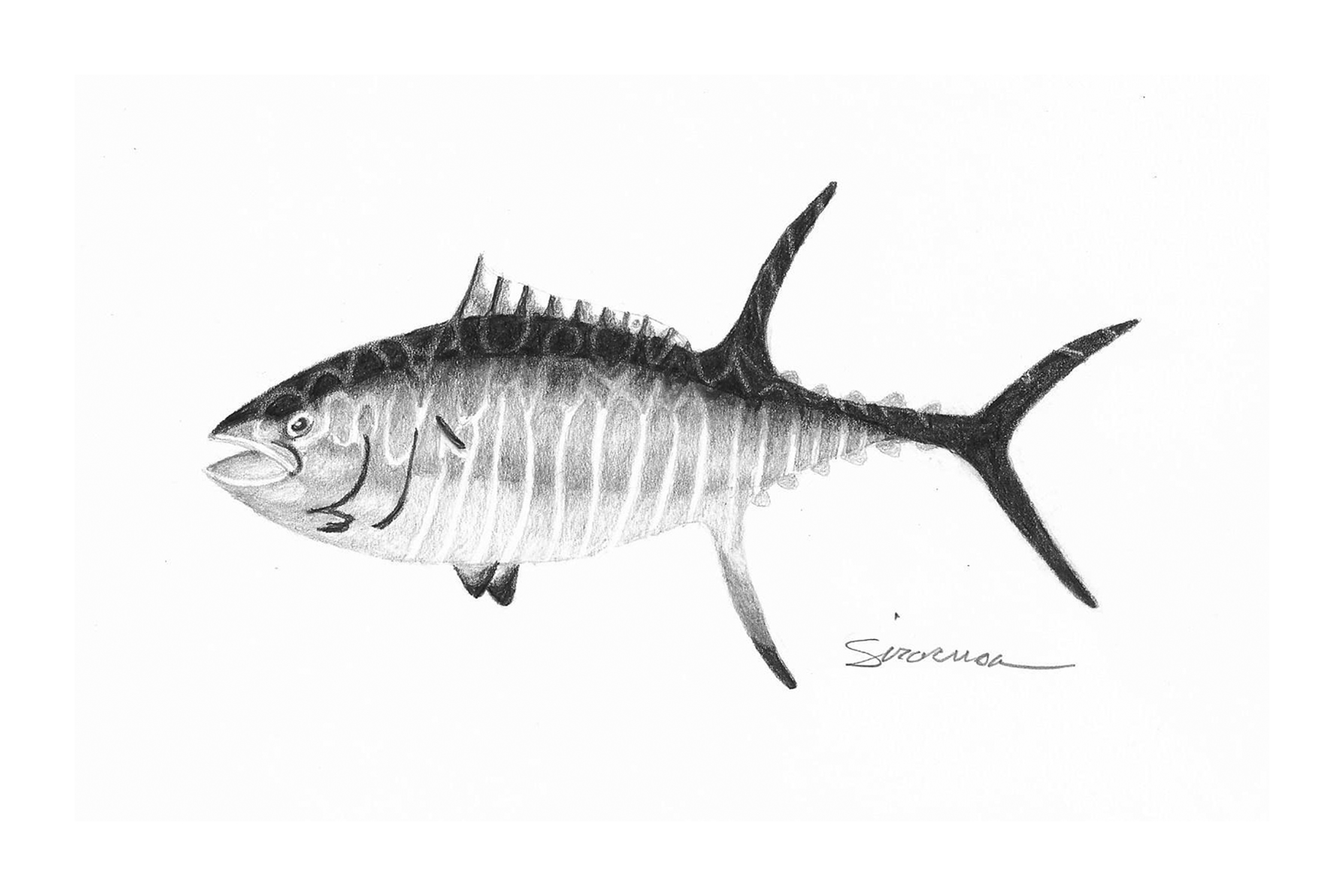 Yellow fin tuna drawing vxlise