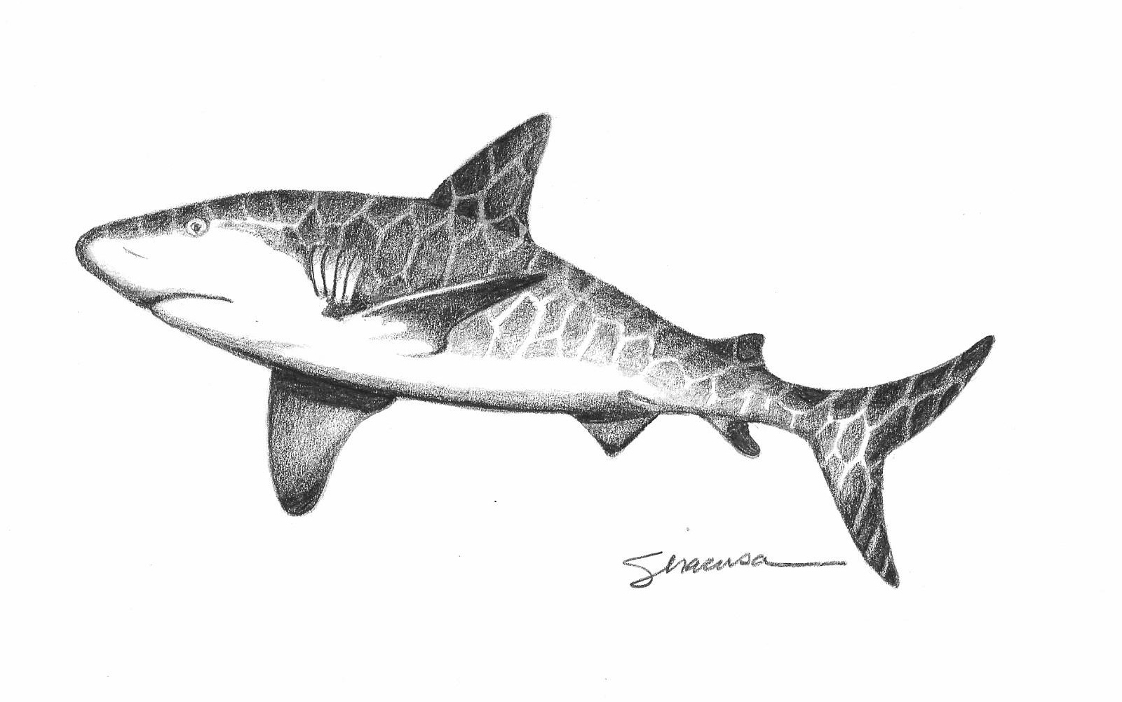 Grey shark original drawing pn2pgr