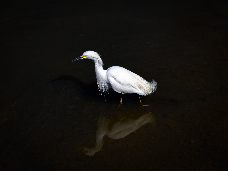 Snowy egret and reflection in dark water ii fsqezd