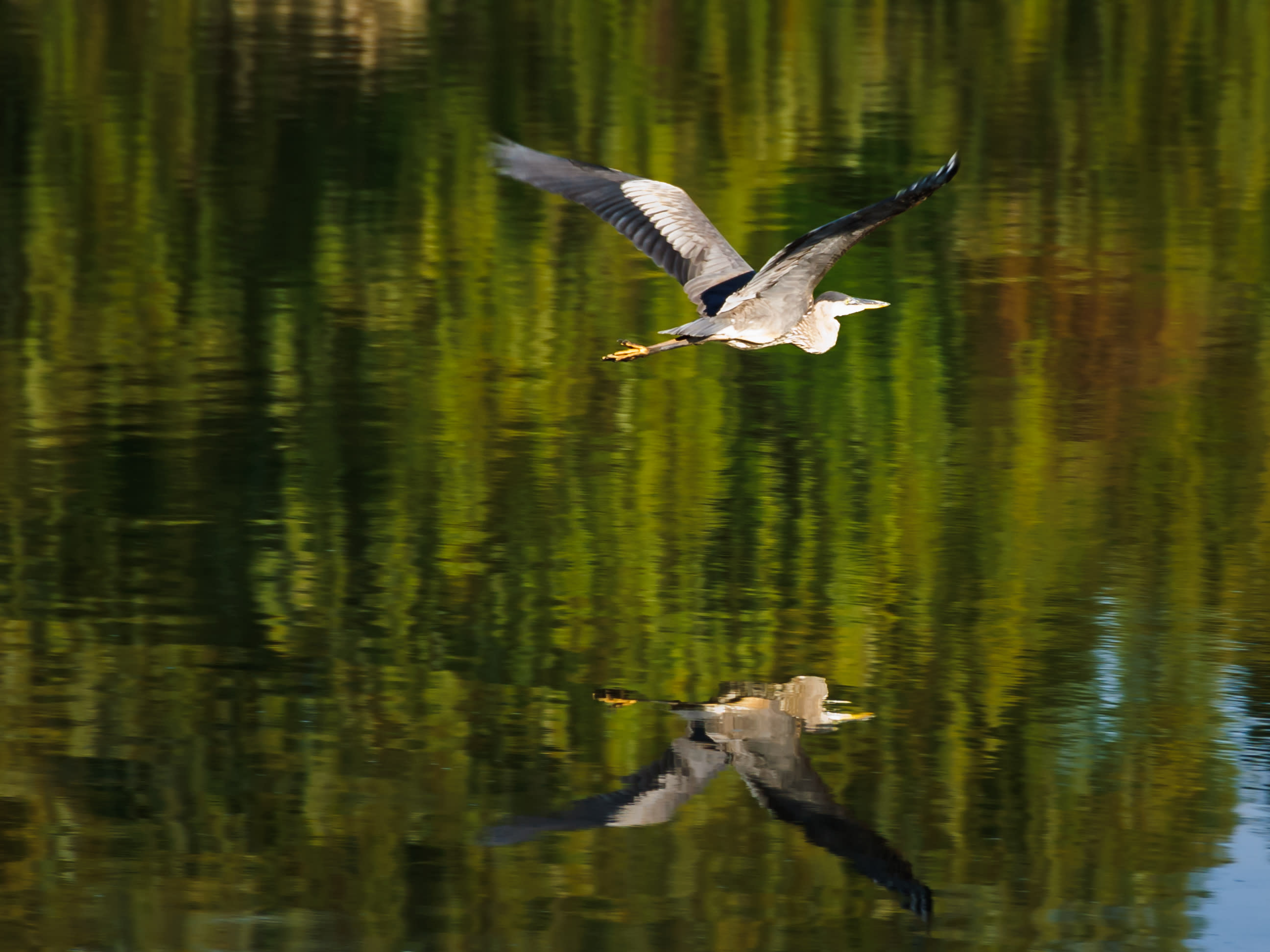 Blue heron over green forest reflection s5gqnz
