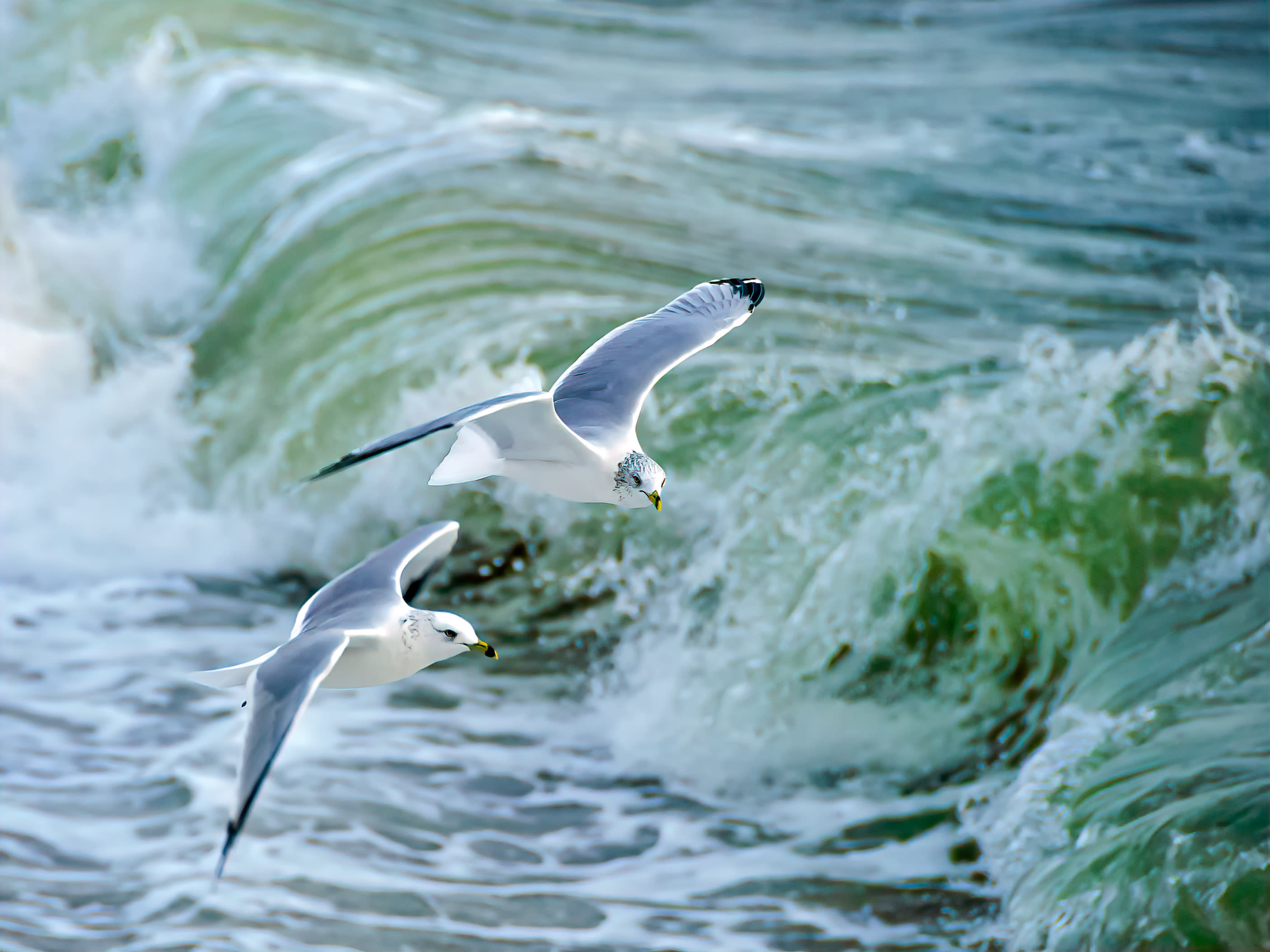 Ring billed gulls over green atlantic wave fdwgew