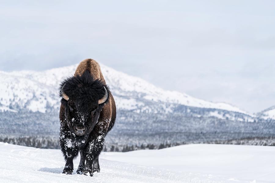 Bison in snow yellowstone aluminum print ouum3u