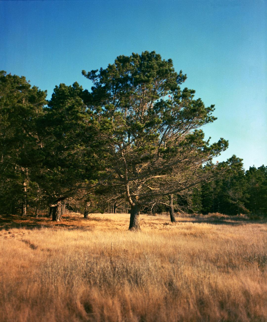 Montereypine pointlobos.tif nfh51z