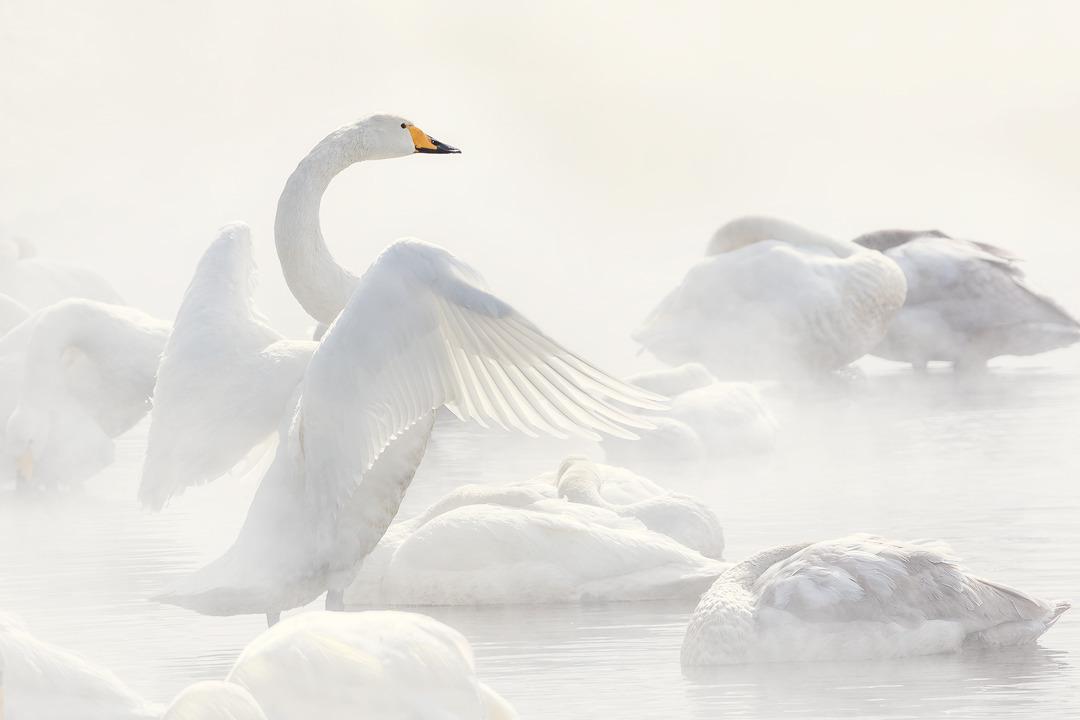 Angel wings utml98