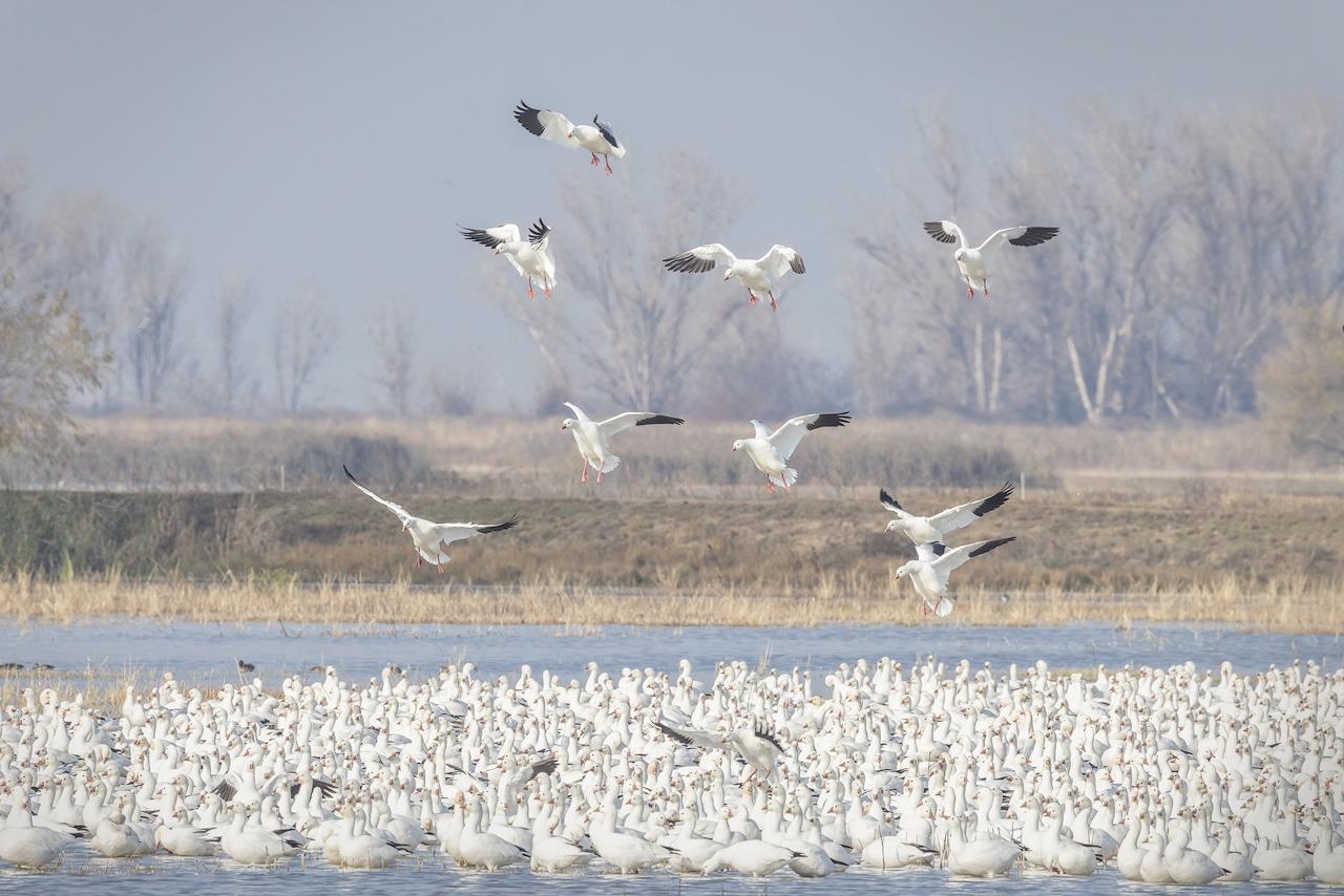 Ross s geese landing uojrsx