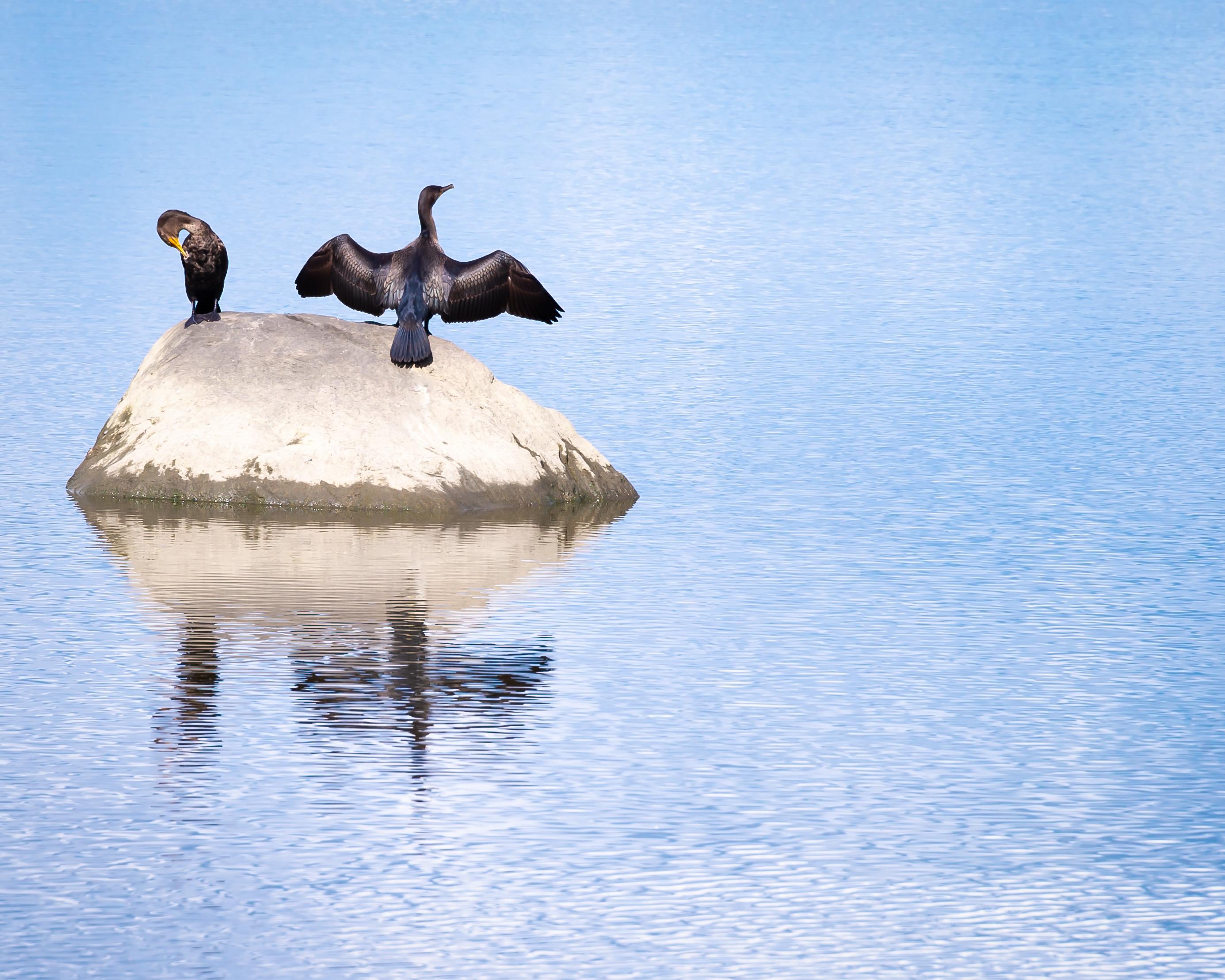 Cormorants   north cove fgedi9