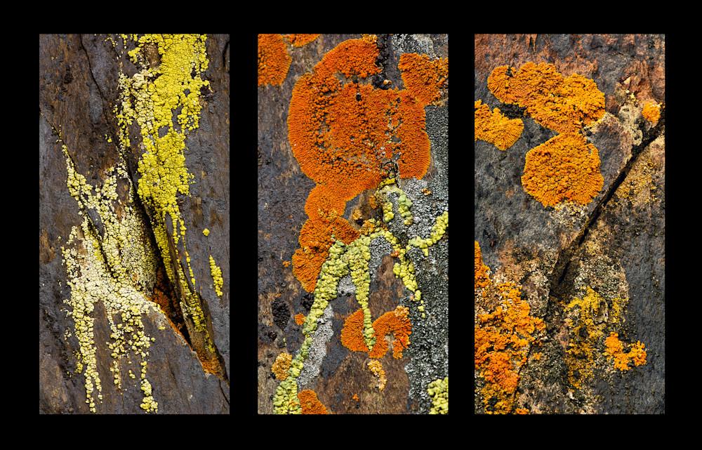 Felice willat   lichen tryptich ubqr7a 1 o25e1m