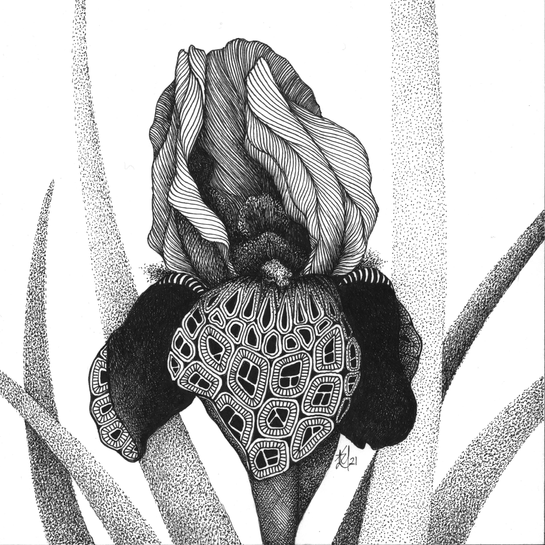 Iris  burgundy party bearded iris qkz8fs
