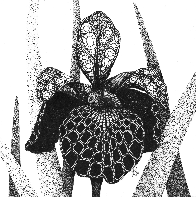 Iris  caesar s brother siberian iris gbvljf