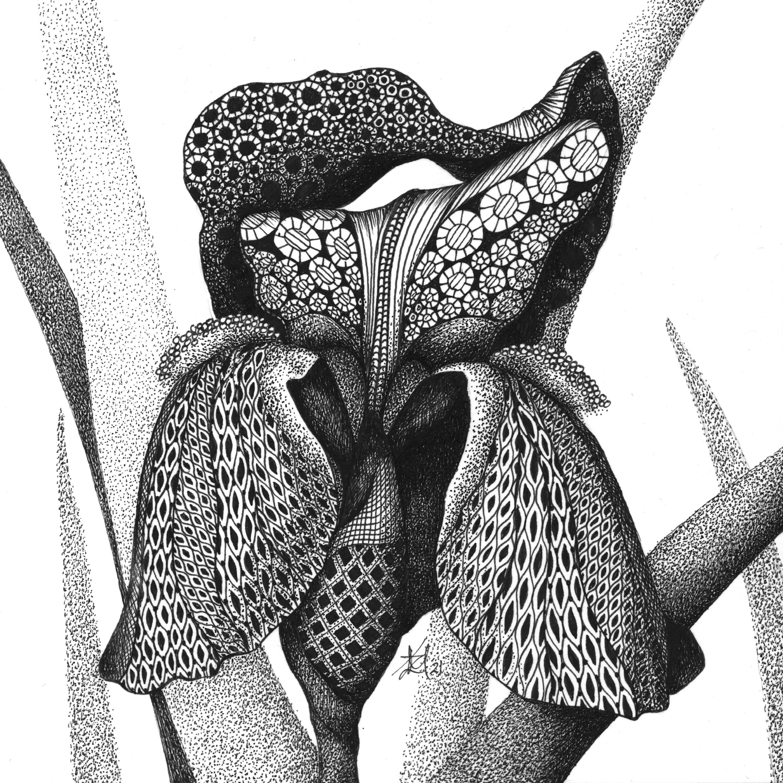 Iris  german bearded iris vowvdz