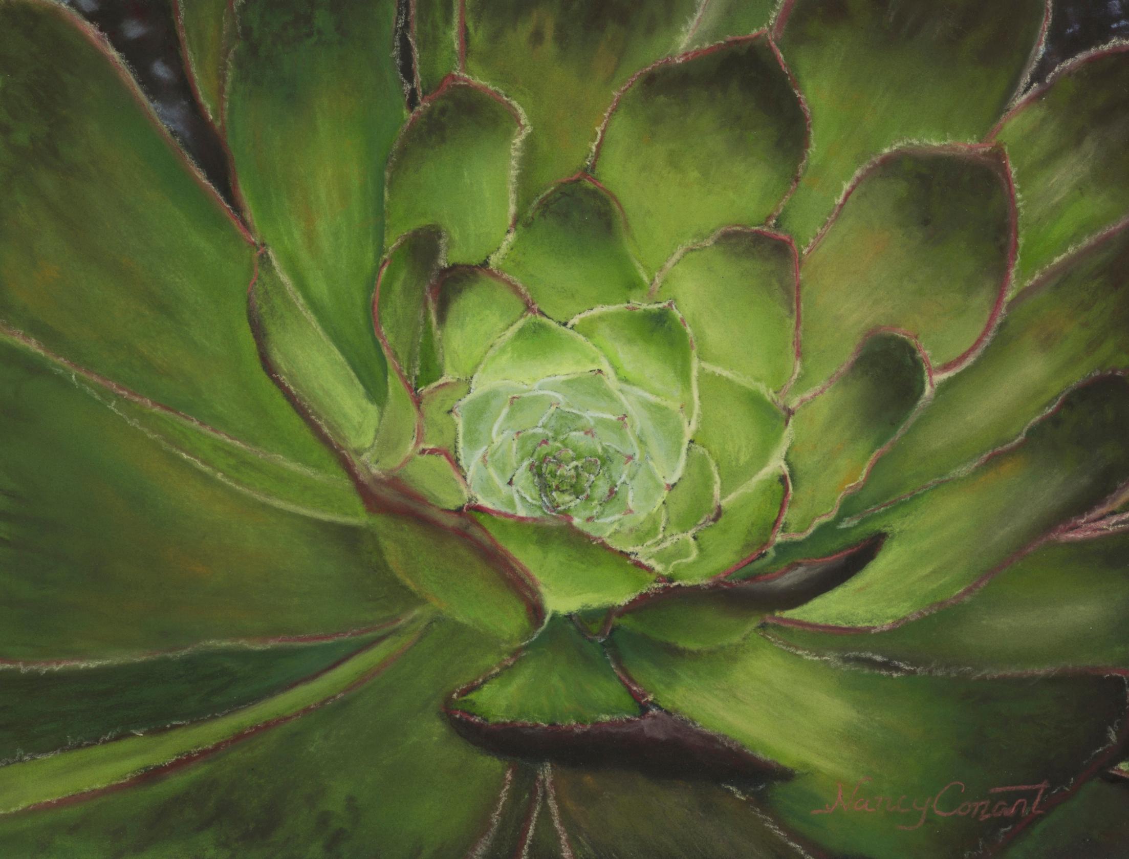Succulent aeonium arboreum web xbwlzb