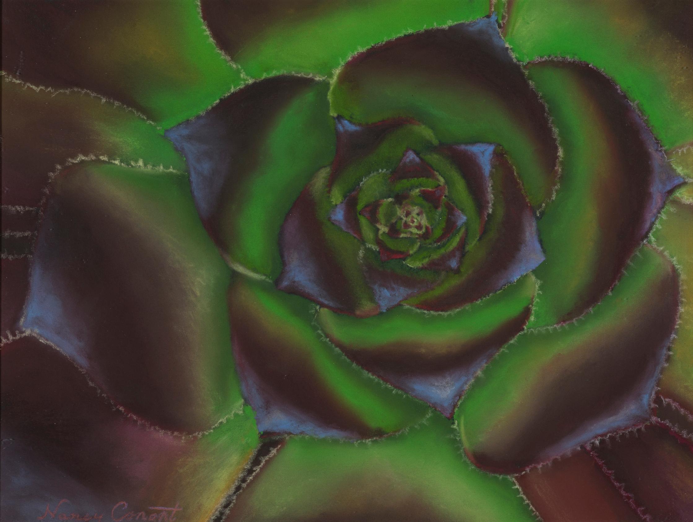 Succulent aeonium zwartkop web y6it8u